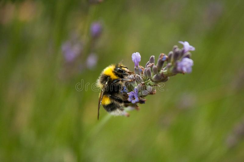 A bumblebee gathers nectar from a lavender flower stock image
