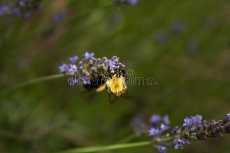 A bumblebee gathers nectar from a lavender flower stock photography