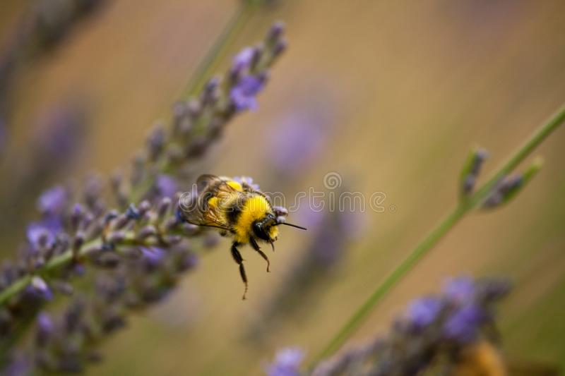 A bumblebee gathers nectar from a lavender flower royalty free stock photography