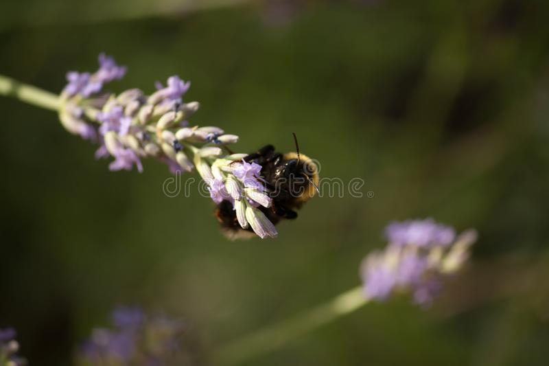 A bumblebee gathers nectar from a lavender flower stock images