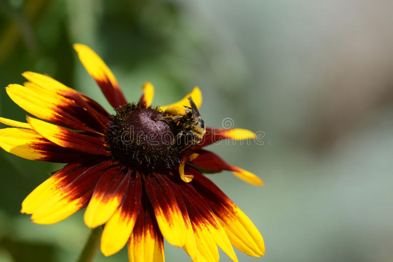 A Bumblebee Gathers Pollen royalty free stock image