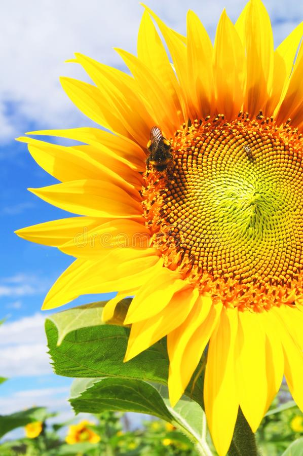 Bumblebee gathers pollen from sunflower on sunflower field stock photos