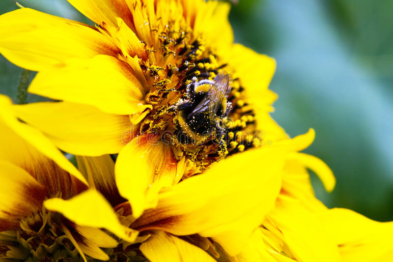 A bumblebee gathers pollen on a sunflower. stock image