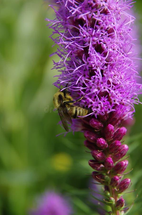 Bumblebee on Gayfeather stock photo