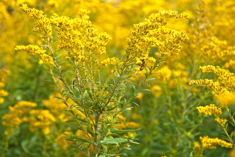 Bumblebee on goldenrod royalty free stock images