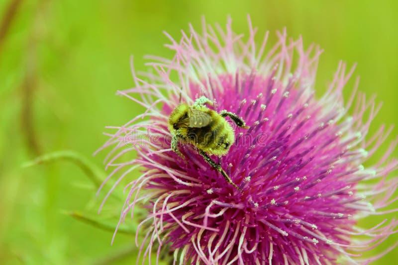 Bumblebee gromadzeń się nektar na fiołka kwiacie obrazy royalty free