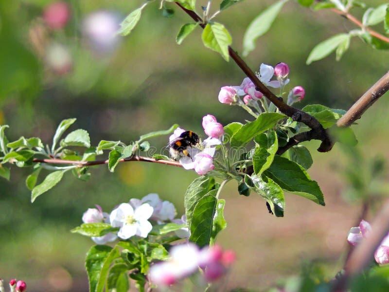 Bumblebee gromadzeń się nektar od jabłczanego okwitnięcia Kwitnąca jabłczana plantacja Młody sad nowożytny uszeregowanie na wiośn obraz royalty free