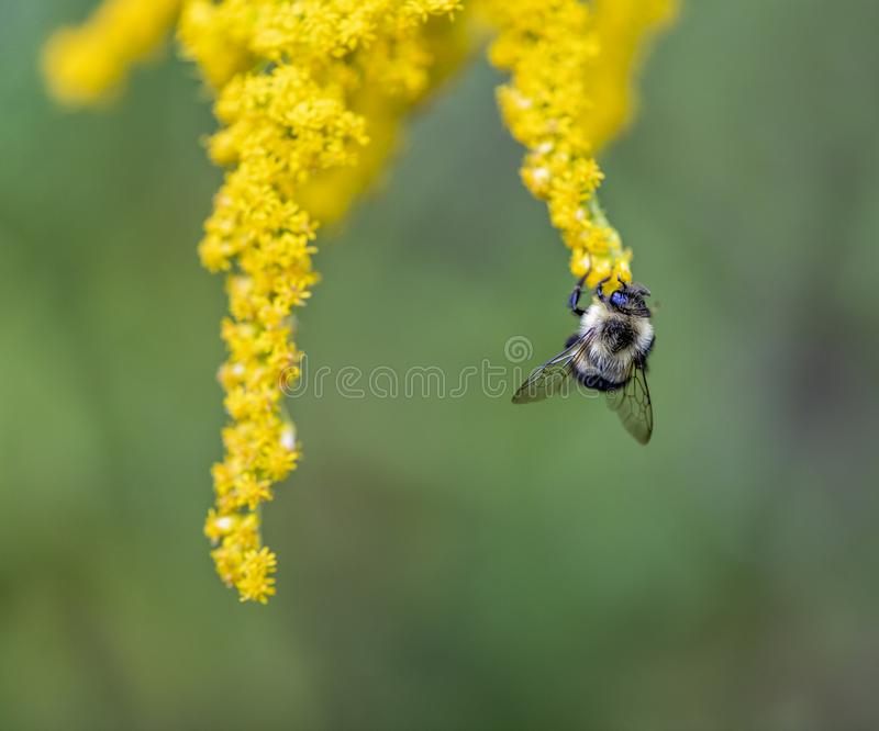 Bumblebee Hanging from a Goldenrod Plant stock photo