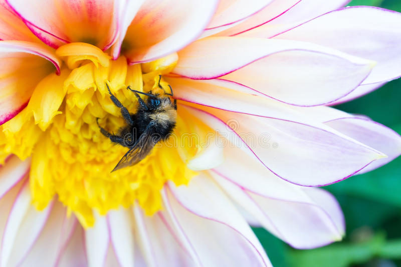 Bumblebee i dalia obraz royalty free