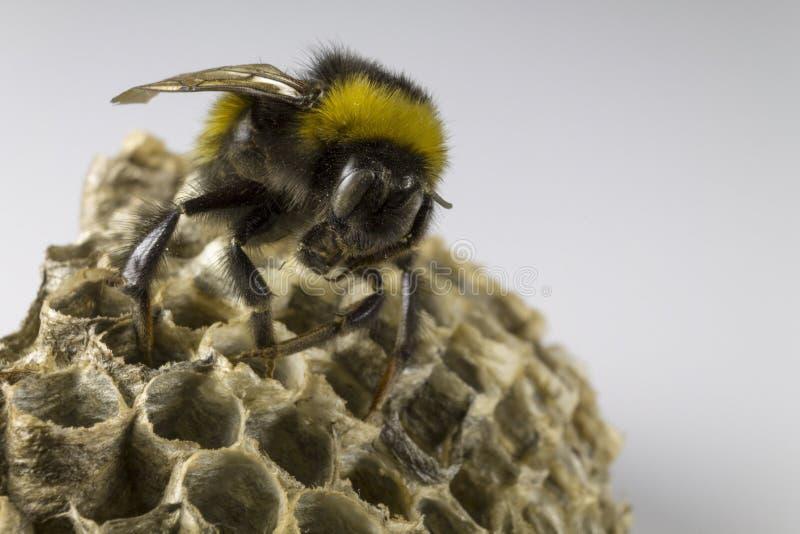 Bumblebee i szerszenia ` s gniazdeczko zdjęcia royalty free