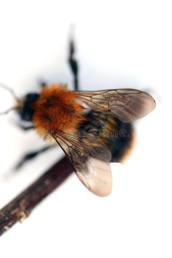 Bumblebee isolated. In white background stock images