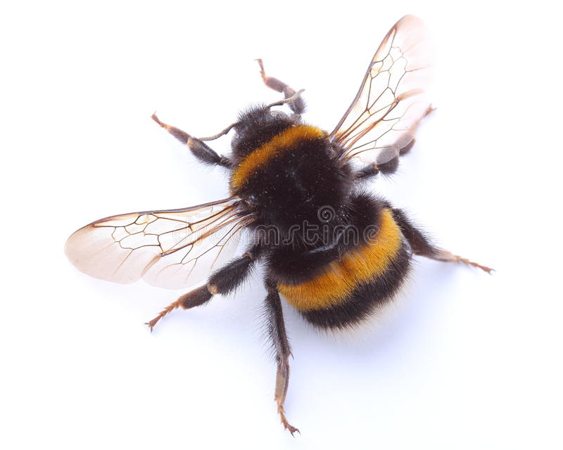 Bumblebee isolated on white royalty free stock photo