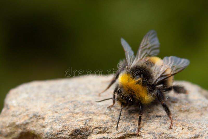 bumblebee kamień zdjęcie royalty free