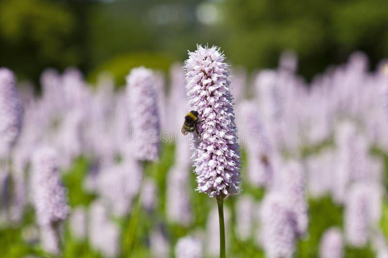 bumblebee kwiat obrazy royalty free