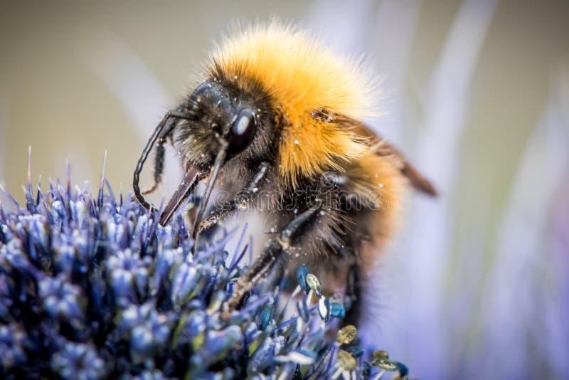 bumblebee kwiat samopylnego obrazy stock