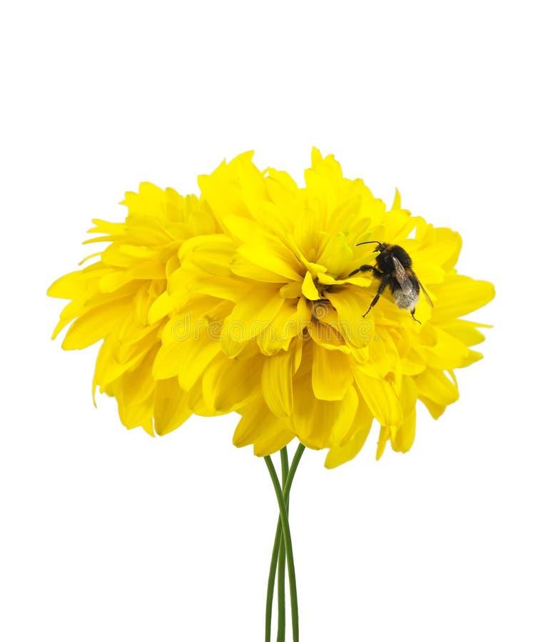 bumblebee kwitnie kolor żółty zdjęcie stock