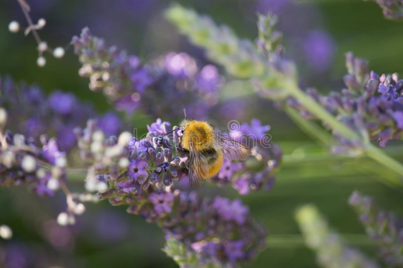 Bumblebee on Lavandula Flower. In the Sunset royalty free stock photo