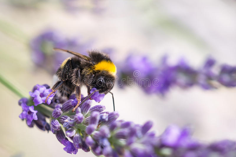 Download Bumblebee on lavender stock photo. Image of environment - 95091620
