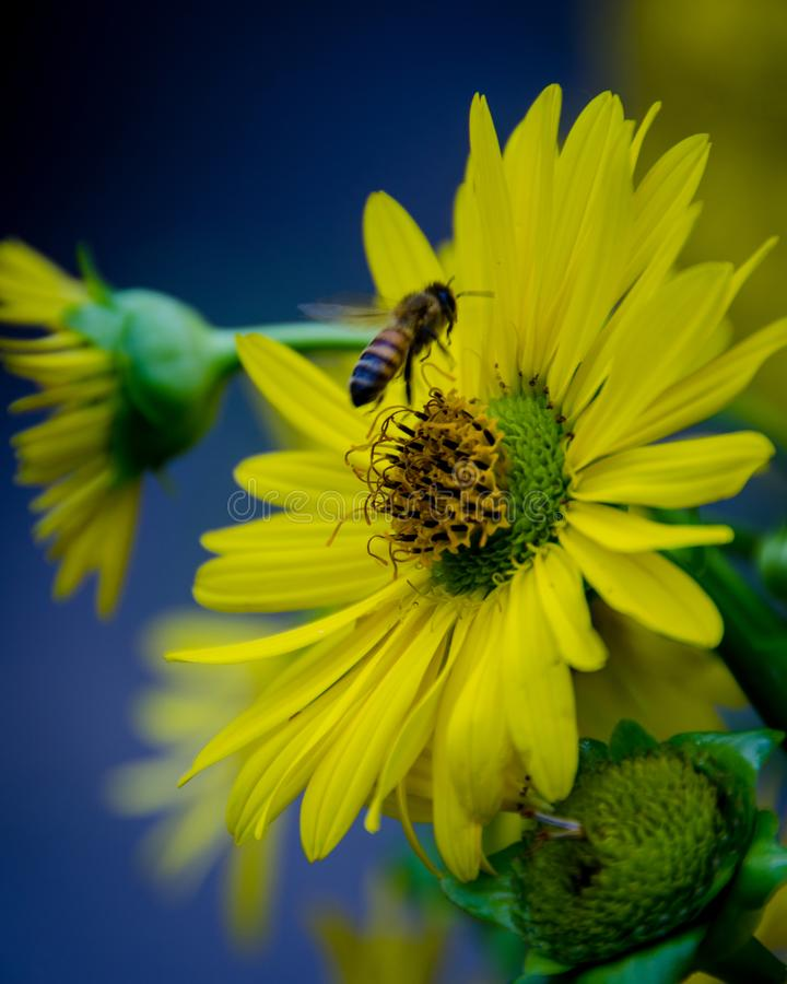 Bee Rising Off Sunflower. A bumblebee lifts off a sundflower stock photos