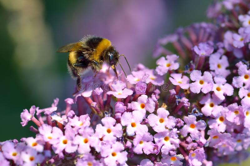 Bumblebee on Lilac. A Bumblebee on a Lilac flower royalty free stock photos