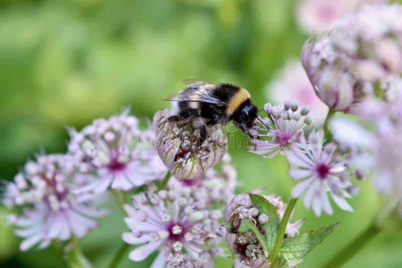 Bumblebee on flower. Macro of active bumblebee on purple flower stock photo