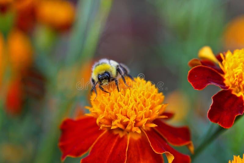 bumblebee makro- zdjęcia stock