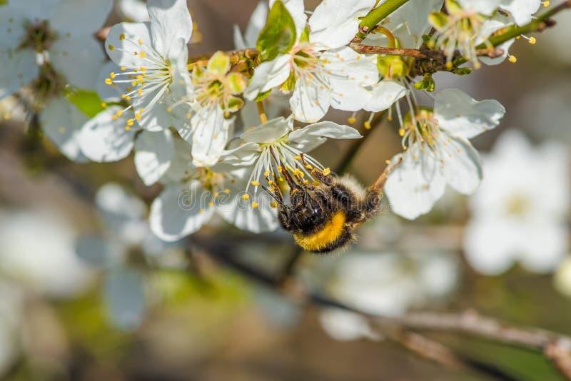 Bumblebee na białym kwiacie obrazy stock
