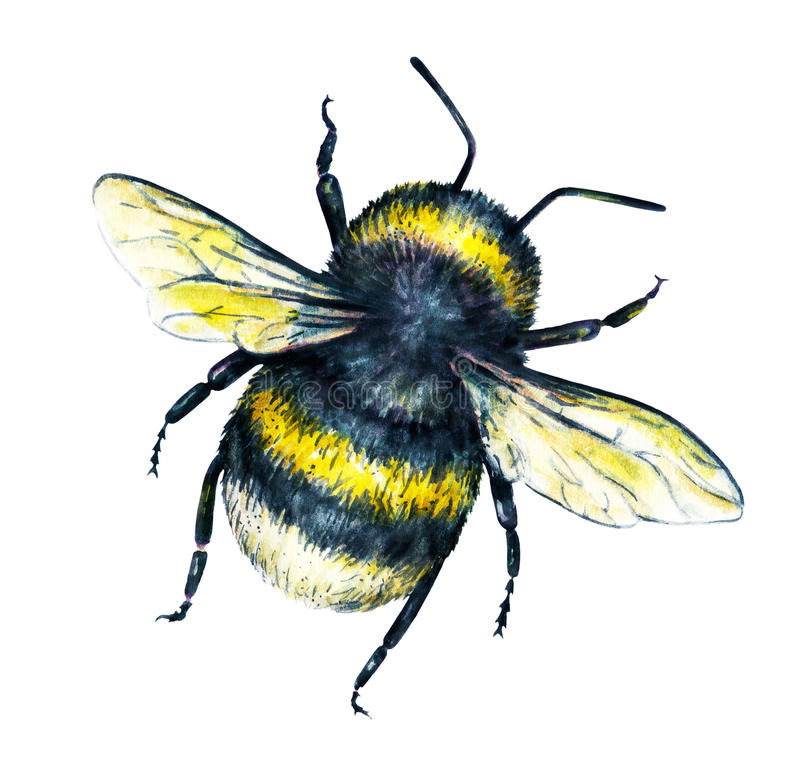 Bumblebee na białym tle banki target2394_1_ kwiatonośnego rzecznego drzew akwareli cewienie Insekt sztuka handwork Odgórny widok fotografia stock