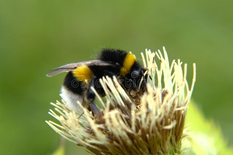 Bumblebee na bia?ym kwiacie fotografia stock