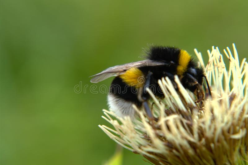 Bumblebee na bia?ym kwiacie fotografia royalty free