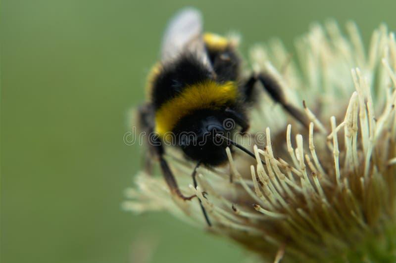 Bumblebee na bia?ym kwiacie zdjęcie stock