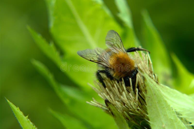 Bumblebee na bia?ym kwiacie zdjęcia royalty free