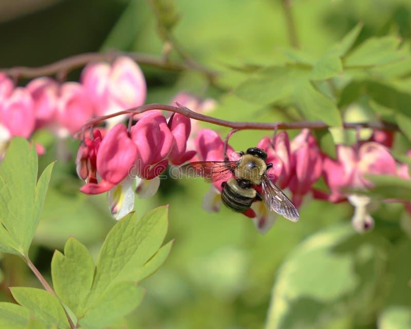 Bumblebee na Krwawiącym sercu obraz royalty free