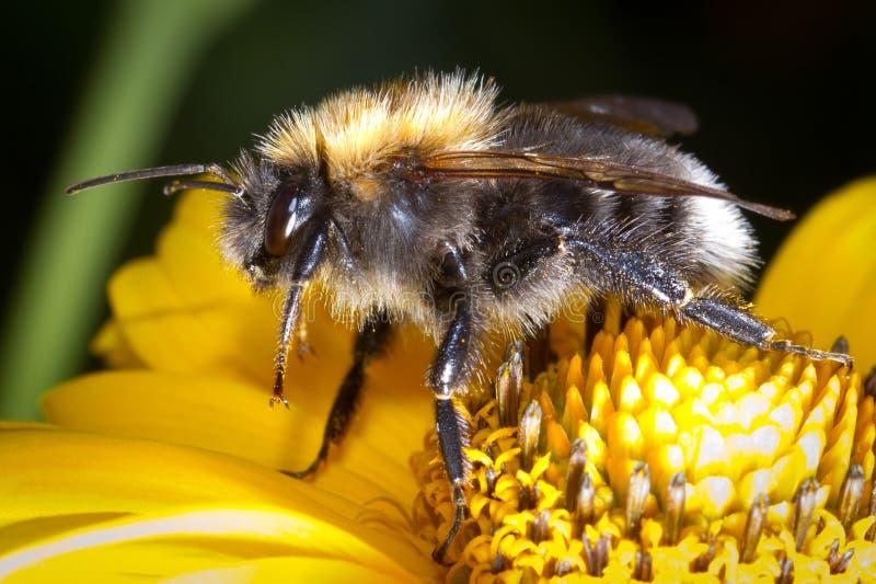 Download Bumblebee na kwiacie zdjęcie stock. Obraz złożonej z kwiecisty - 25860098
