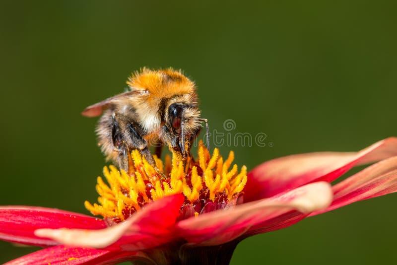 Bumblebee na kwiacie fotografia stock
