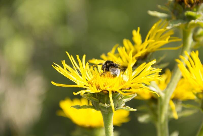 Bumblebee na kwiacie leczniczej rośliny inula helenium zdjęcia royalty free