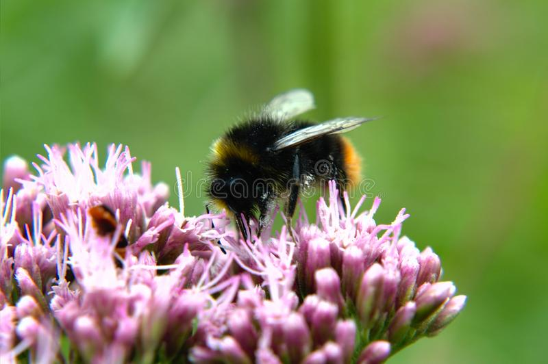 Bumblebee na kwiacie obraz stock