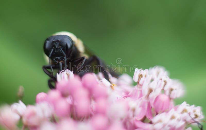 Bumblebee na Różowym kwiacie zdjęcie stock
