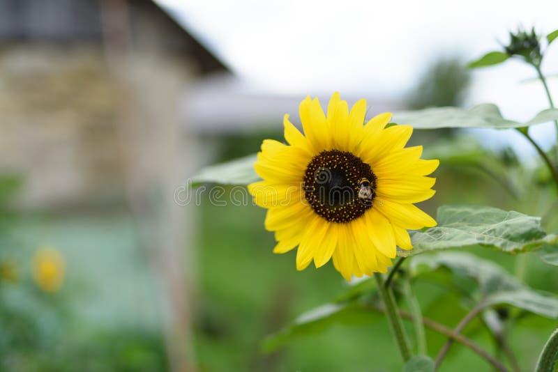 Bumblebee na słoneczniku na zielonym polu obrazy stock
