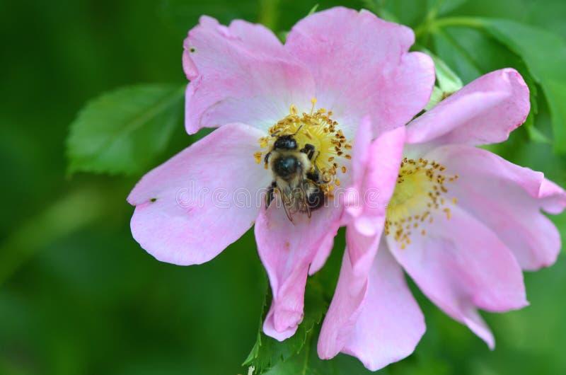 Bumblebee na wzrasta? zdjęcia stock