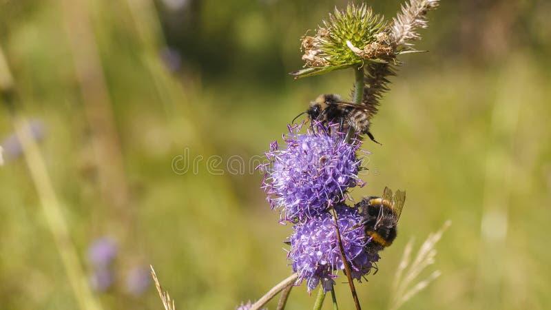 Bumblebee near flower stock photos
