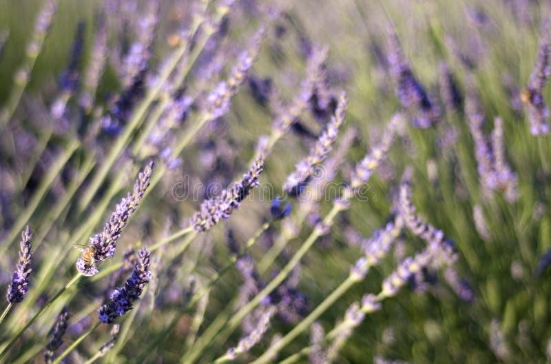bumblebee ogrodowych lata kolorze lila zdjęcia stock