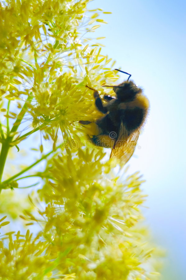 Free Bumblebee On A Yellow Flower Royalty Free Stock Photography - 5745727