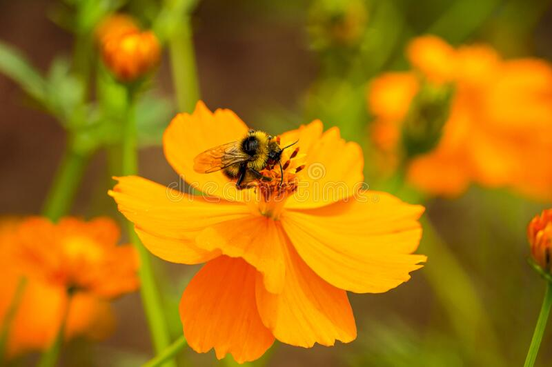 Bumblebee on orange flower. Close up photo. Selective focus. Ecologycal, nature, spring and concept photo. Bumblebee on orange flower. Close up photo. Selective stock photos