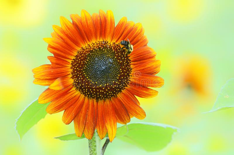 Bumblebee on an Orange Sunflower stock photo