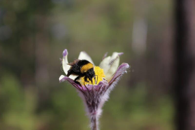 Bumblebee patrzeje dla nektaru zdjęcia stock