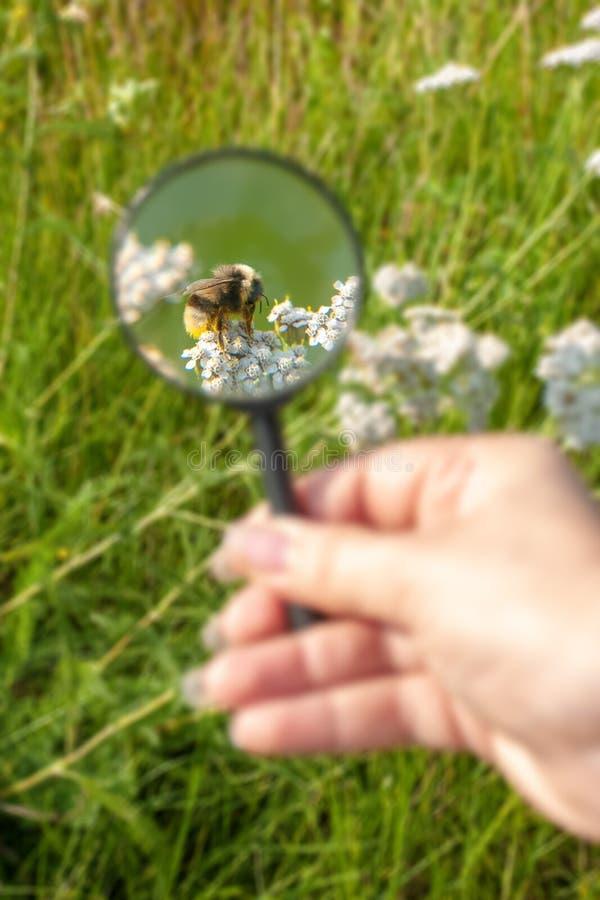 Bumblebee pod powiększać - szkło w polu na kwiacie zdjęcie stock