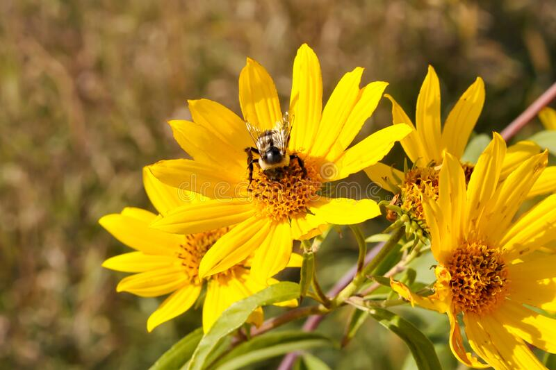 Bumblebee Pollenating on a Yellow Wild Flower stock photography