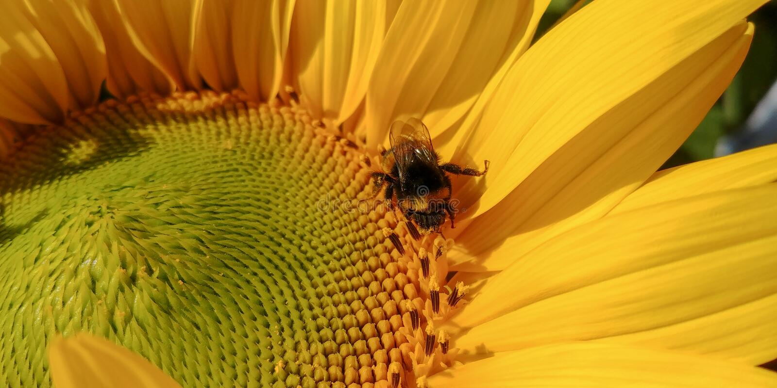 Bumblebee pollinates bright sunflower in a sunny day royalty free stock image