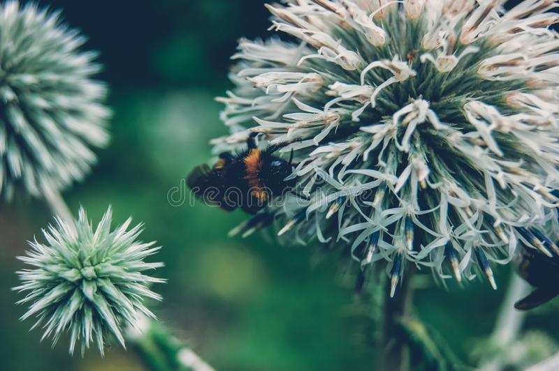 Bumblebee pollinates forest spines royalty free stock photography